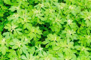 Pflanze Griechenklee oder Bockshornklee